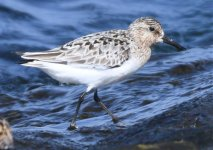 Little Stint 1.jpg