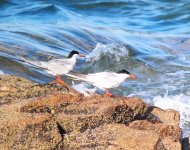 Common Tern_Girdle Ness_240620a.jpg
