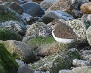 Common Sandpiper_Girdle Ness_020520a.jpg