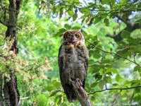 Y7-M07 Amity Great Horned Owl 24A Morning Shade.jpg