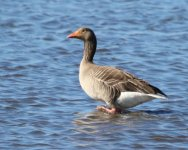 EMAIL Goose - Southport Marshside - In Lockdown - 20May30 - 4335 orig.jpg
