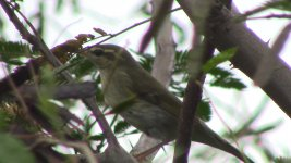 unknown warbler2.jpg