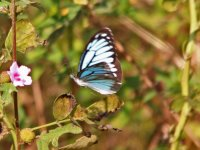 Butterfly - AAA - India Goa - Carambolim Lake - 13Nov24 - 07-6642.jpg