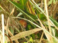harvest mouse 3 small.JPG