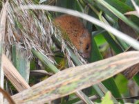 harvest mouse 2 small.JPG