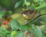 Common Yellowthroat perhaps.jpg
