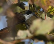 Blackcap_Girdle Ness_071120a.jpg