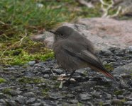 Black Redstart_Girdle Ness_081120a.jpg
