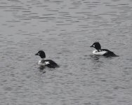 Goldeneye_Girdle Ness_081120a.jpg