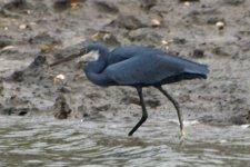 Black heron.jpg