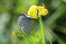 Provincal Short-tailed Blue it 1.jpg