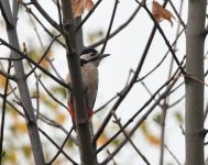 GS Woodpecker_Girdle Ness_091120a.jpg