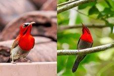 resize_Crimson Sunbird color.jpg