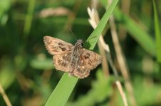 Mallow Skipper it 1.jpg