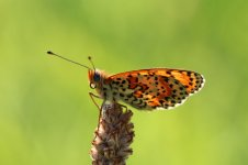 Spotted Fritillary it 2.jpg