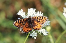 Spotted Fritillary it 1.jpg