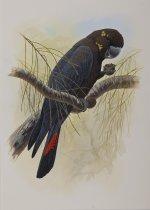Glossy black cockatoo.JPG