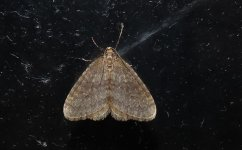 1799 Winter Moth.JPG