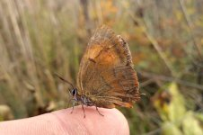 Brown Hairstreak lt 1.jpg