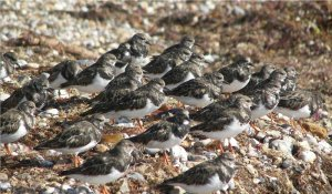 (Ruddy) Turnstones