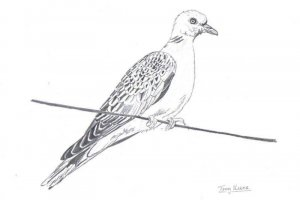 (european) turtle dove