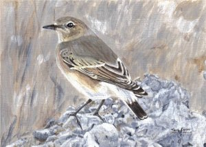 (Northern) Wheatear