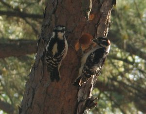 Downy Woodpeckers (Male and Female)