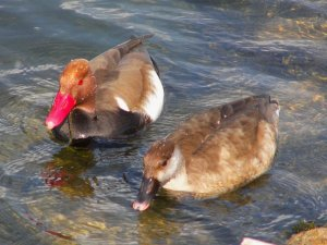 Red-crested pair