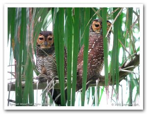 Spotted Wood-Owl