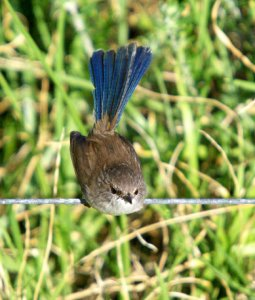 Superb Fairy Wren (male, eclipse plumage).