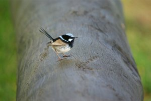 Male Superb Fairy Wren