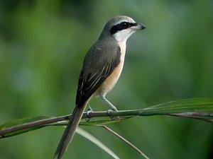 Brown-backed shrike