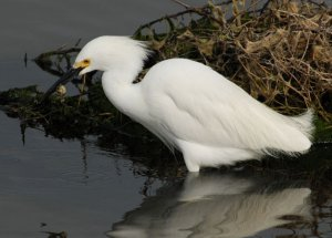 Snowy Egret with a crab