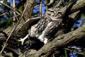 LITTLE OWL  [ POSEING A STRETCH ]