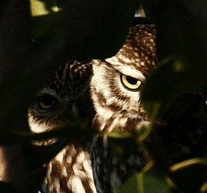 CURIOUS LITTLE OWLS