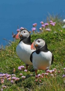 Loved up Puffins