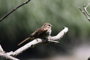 Song Sparrow (1st picture with Canon 40D)