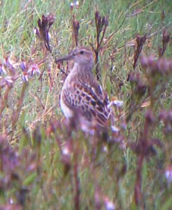 Pectoral Sandpiper (phonescoped)