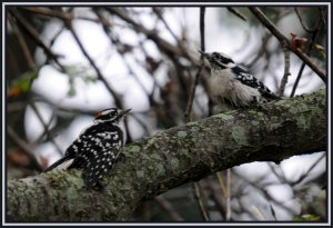 A Pair Of Peckers