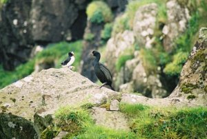 Shag and Puffins