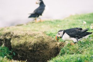 Nest-building Puffin
