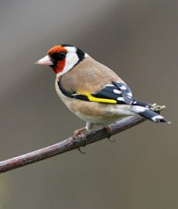 Male Goldfinch.