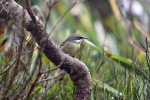White-browed Srubwren