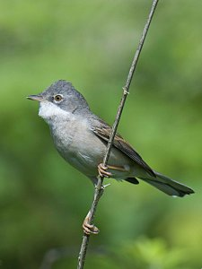 Whitethroat Brandon Marsh