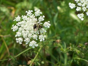 American Bumblebee with Hedge Parsley