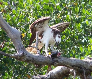 Osprey Munching on a Fish