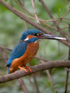 Shuttington Kingfisher