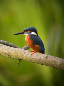 Mere Sands Wood Kingfisher