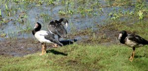Magpie Goose and Goslings