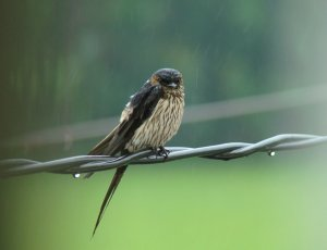 Striated Swallow in the rain